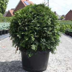 Thuja Occidentalis Brabant Ball 50-60cm