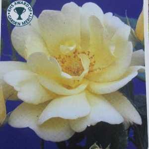 Golden Memories (Korholesea) 1/2 Standard Rose
