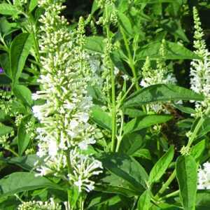 Buddleia Buddleja Argus White Butterfly Bush
