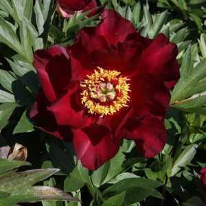 Peony (Paeonia) ITOH Intersectional Scarlet Heaven