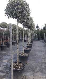 Ilex Aquifolium Argentea Marginata (Silver Margined English Holly) 3/4 Standard Lollipop Tree