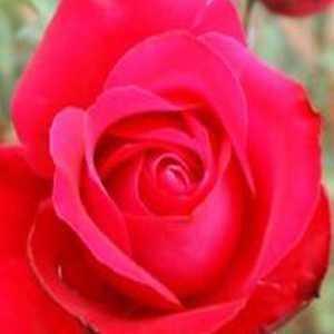 Alec's Red 1/2 Standard Rose