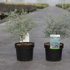 Eucalyptus Gunnii France Bleu (Cider Gum)