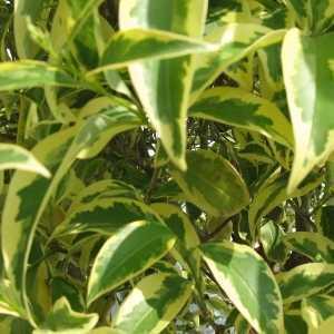 Ligustrum Excelsum Superbum 12-14cm girth Container Grown