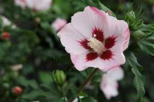Hibiscus Syriacus Hamabo (Rose of Sharon)