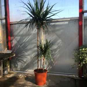 Large Dracaena Marginata (Dragon Tree) Indoor Plant