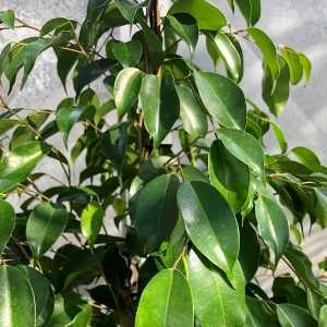 House Plant Ficus Air Cleaning