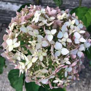 Hydrangea Arborescens Candybelle Marshmallow