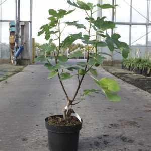 Ficus Carica 'Jordan'
