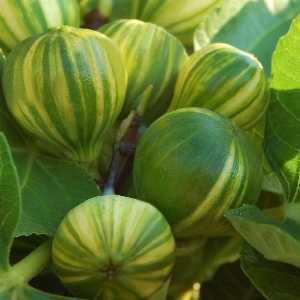Ficus Carica 'Panache'