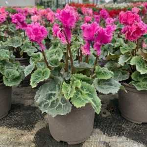 Cyclamen Winter Potted Mini 'Frilly' Dark Pink