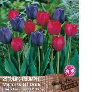 25 Tulips Triumph 'Mistress Of Dark'