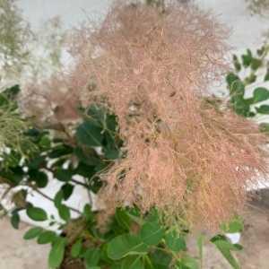 Cotinus coggygria Young Lady Smoke Bush