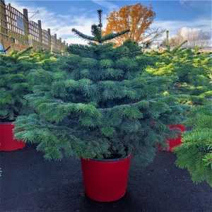 Nordmann Non Drop Xmas Tree Pot Grown 110cm-120cm (incl. pot)