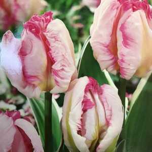 Tulips Bulbs Parrot Vision 10 Per Pack