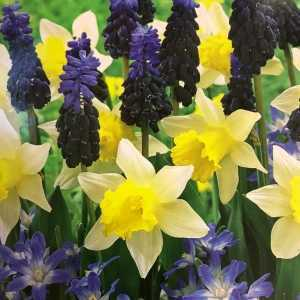 Garden Collection Bulbs Narcissus, Muscari & Chionodoxa 50 Per Pack