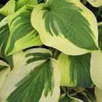 Hosta Fortunei (Plantain Lily)