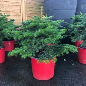 Nordmann Non Drop Xmas Tree Pot Grown 90-100cm (incl. pot)