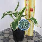 Hosta Patriot (Plantain Lily) 2Ltr