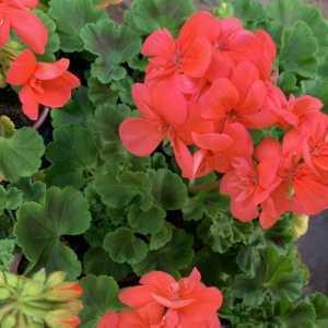 Geranium Potted Orange/Salmon (Summer Bedding) 10.5cm Pot 15 Per Box