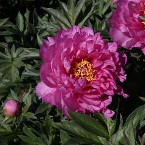 Peony (Paeonia) ITOH Intersectional Frist Arrival