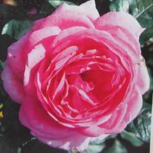 Mum In A Million 1/2 Standard Rose