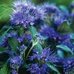 Caryopteris Clandonensis Grand Bleu (Blue Mist Shrub)