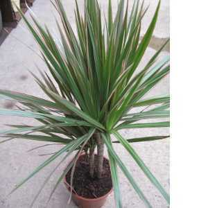 Dracaena Marginata Pink Edged (Dragon Tree)