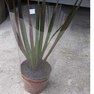 Dracaena Marginata Small (Dragon Tree) Indoor Plant