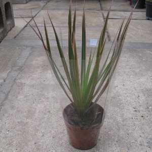 Dracaena Marginata Pink Edged Small (Dragon Tree) Indoor Plant