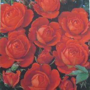 Top Marks (Fryministar) 1/2 Standard Rose