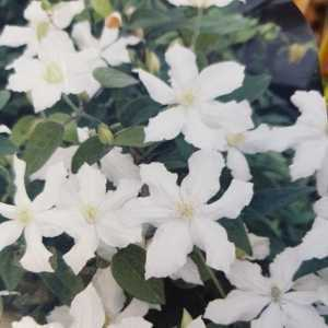 Clematis 'White Arabella'