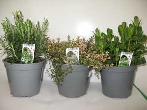 Mixed Herbs  - Pack A  (Rosemary, Pink Thyme, Moroccan Mint)