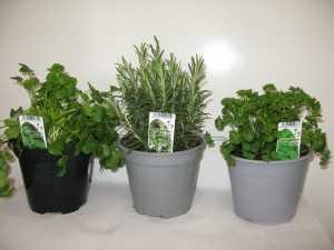 Mixed Herbs Pack B (Coriander, Rosemary, Curly Parsley)