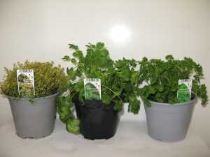 Mixed Herbs - Pack C  Lemon Thyme, Coriander, Curly Parsley