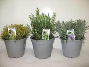 Mixed Herbs Pack D - Lemon Thyme, Rosemary, Lavender Angustifolia