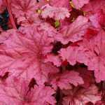 Heuchera Berry Smoothie (Coral Bells)