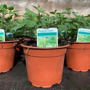 Peppermint (Mentha x piperita) 2L