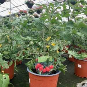 Tomato Plant F1 Red Profusion