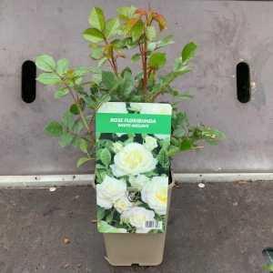 White Meilove Floribunda Rose 3Ltr