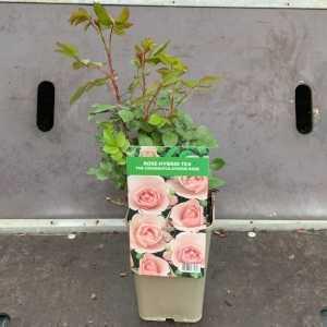 The Congratulations Rose Hybrid Tea Rose 3Ltr