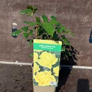 Golden Leader Hybrid Tea Rose  3L