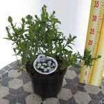 Cistus Salviifolius (Saged Leaf Rockrose)