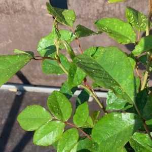 Mount Shasta Hybrid Tea Rose 3L