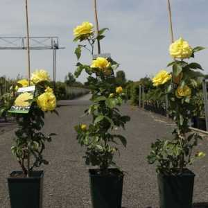 'Friesia' Climbing Rose 4L