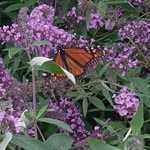 Buddleia Davidii Ile De France (Butterfly Bush) 2ltr