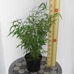 Fargesia Murielae 'Vampire' Bamboo Plant 3Ltr