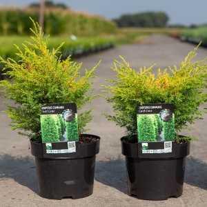Juniperus (Juniper) Communis Gold Cone
