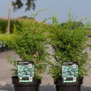 Juniperus (Juniper) Communis Hibernica Irish Juniper