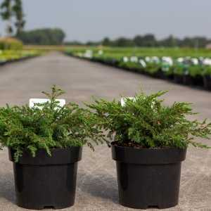 Juniperus (Juniper) Communis Repanda (Common Juniper)